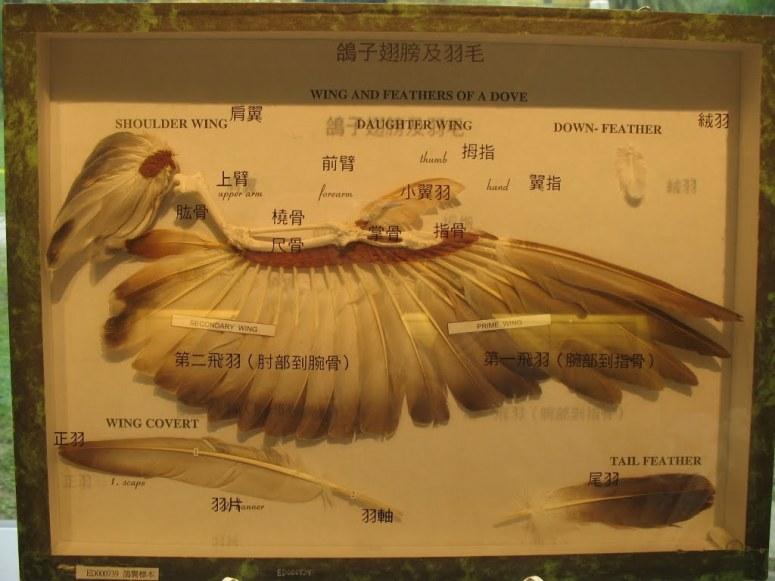 鳥類的羽毛透過「功能變異」演化出飛行的功能